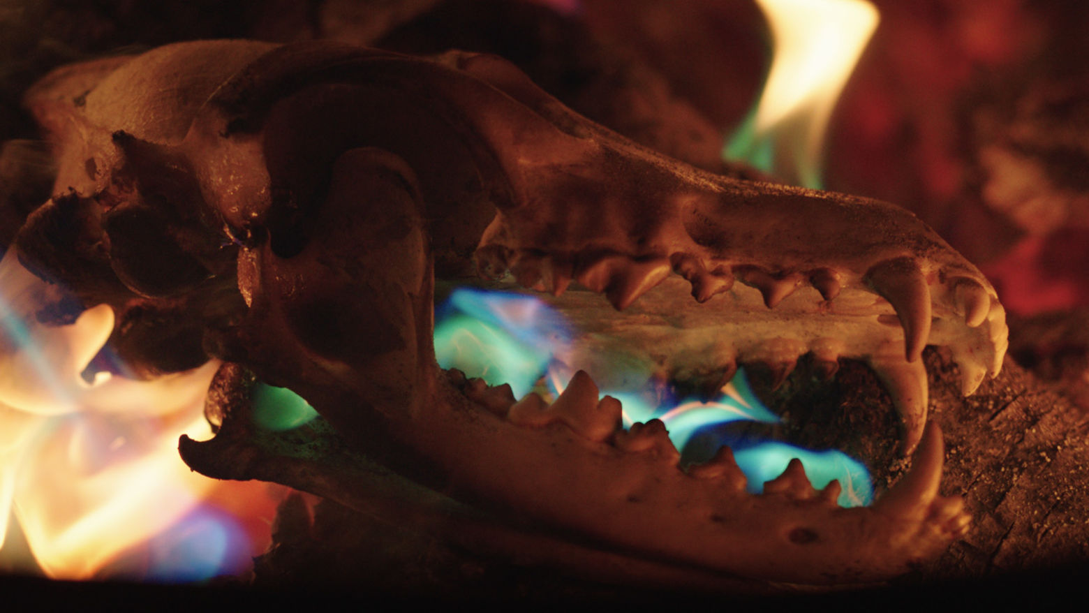 A side view of an animal's skull among colorful flames