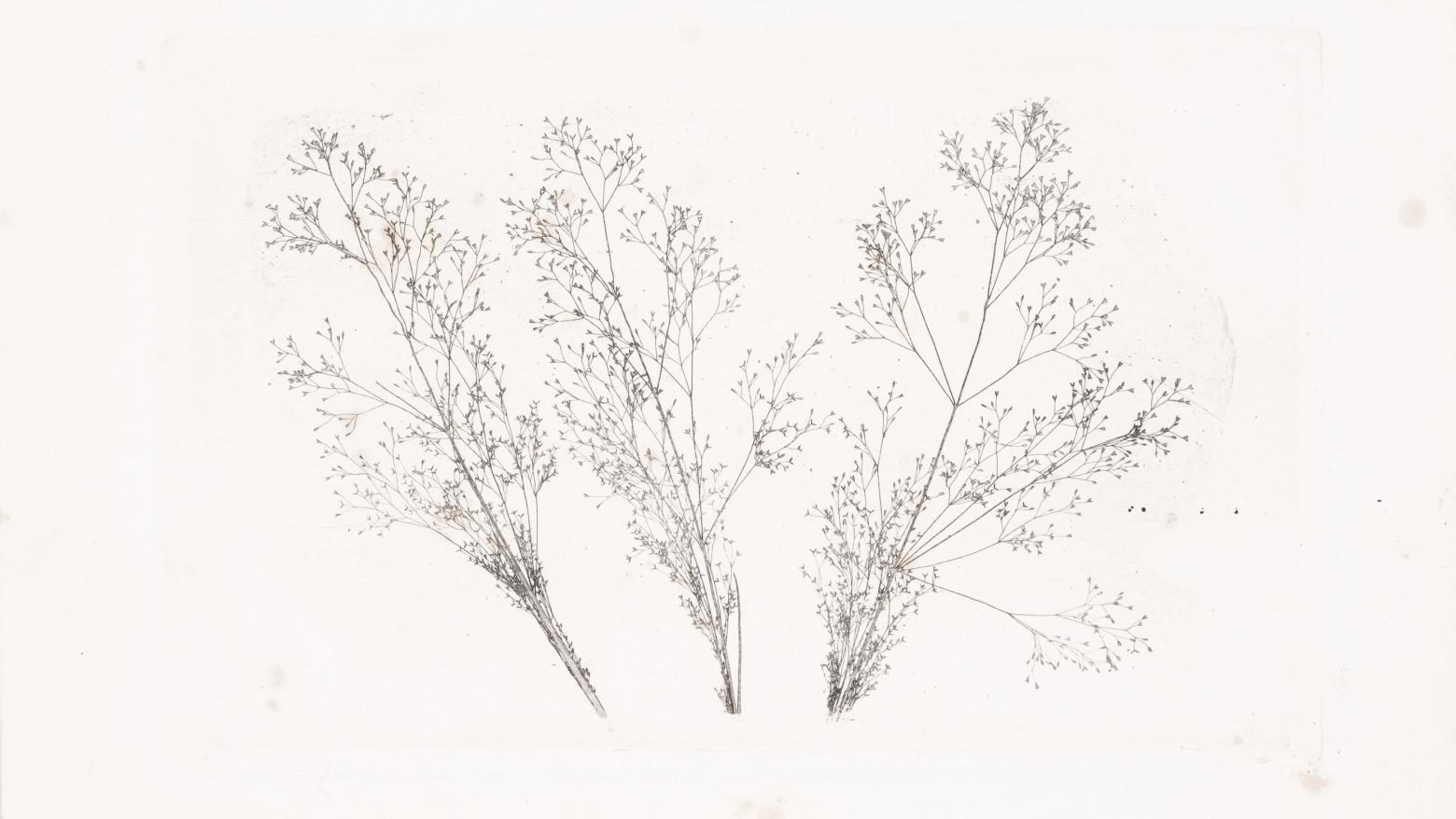 William Henry Fox Talbot Three Stems of Grasses, 1852–1857