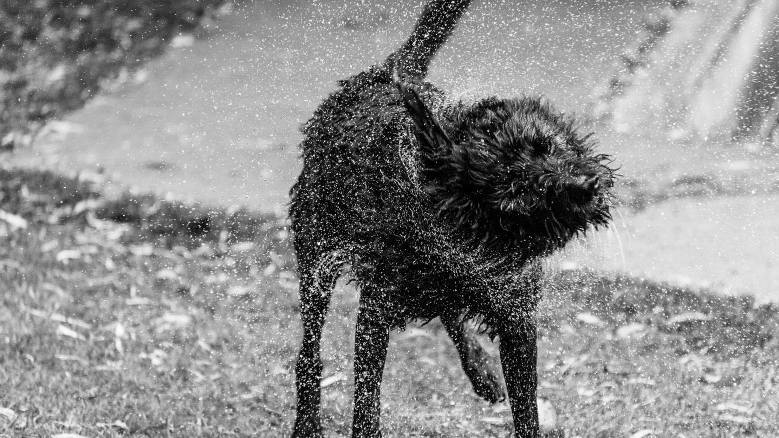 Dog shaking water off. Photo by Cathy Sly of Maple Valley, Washington.