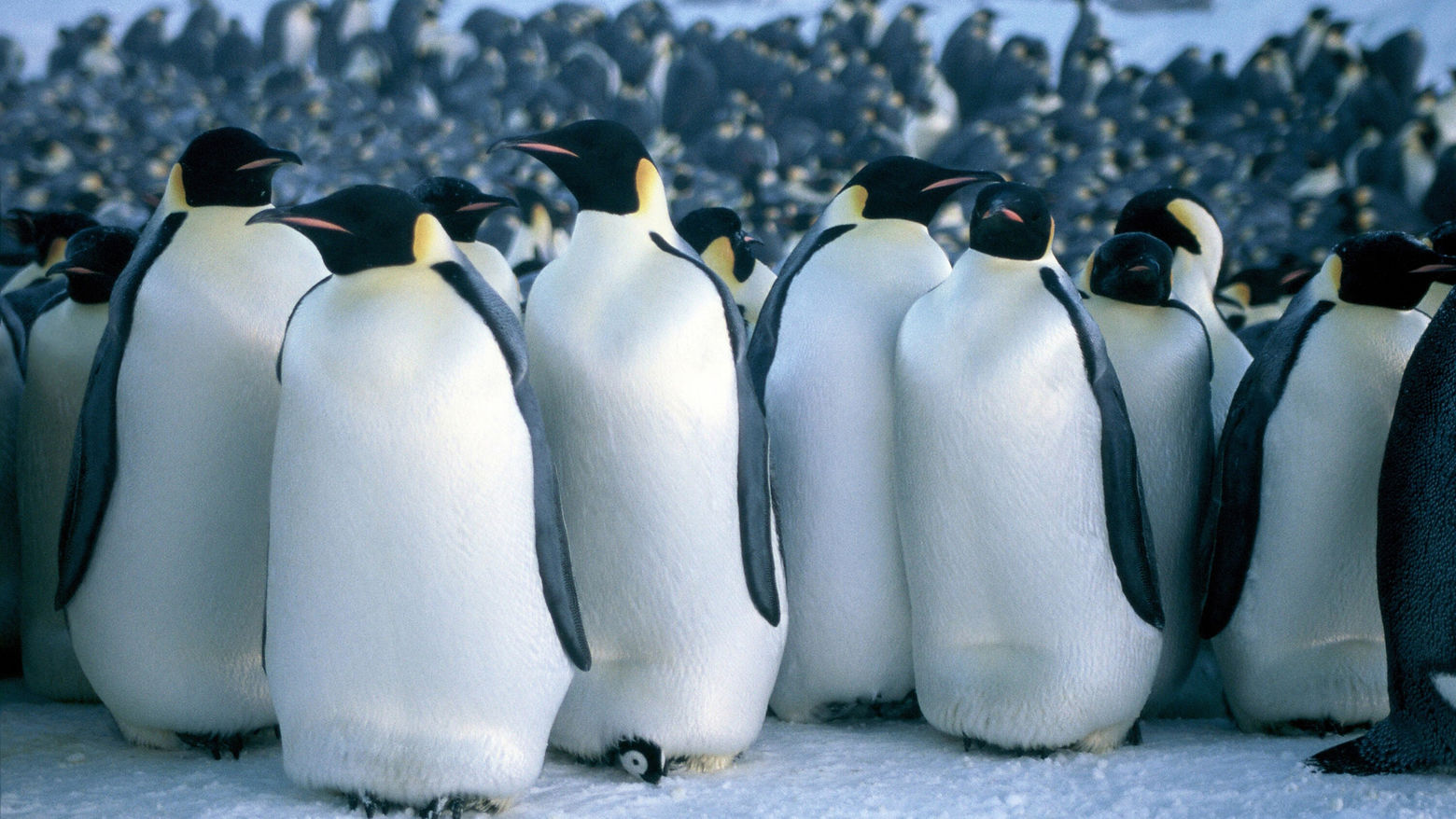 "Still from ""March of the Penguins"" (2005) Dir. Luc Jacquet"