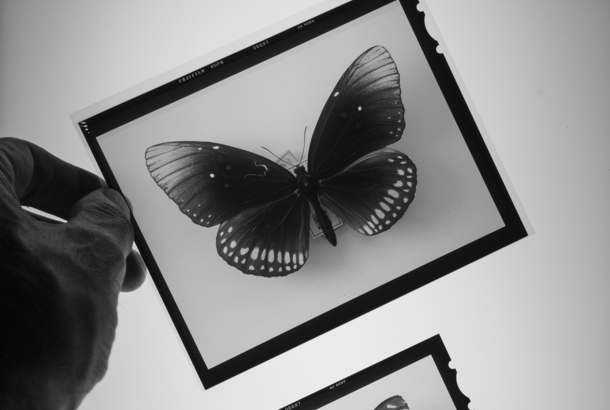 Two black-and-white film stills of butterflies