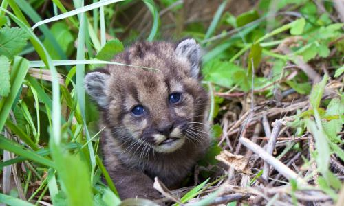 In late February 2017, NPS researchers marked a four-week-old mountain lion kitten. The mother is P-23. Credit: National Park Service